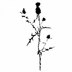 Магарешки трън